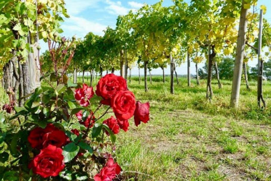 Perchè si piantano le rose nei vigneti?
